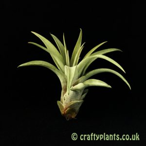 Tillandsia Riohondoensis by Craftyplants