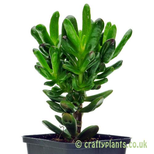 crassula ovata convoluta Hobbit by craftyplants