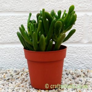 crassula ovata gollum by craftyplants