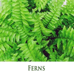 Ferns (houseplants)