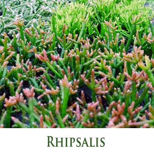 Rhipsalis