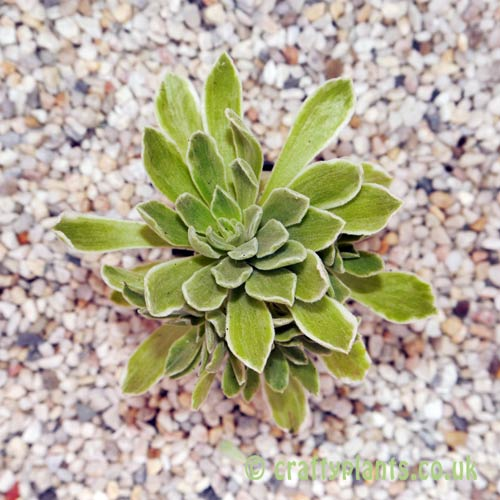 Aeonium 'Ballerina' top view from craftyplants.co.uk