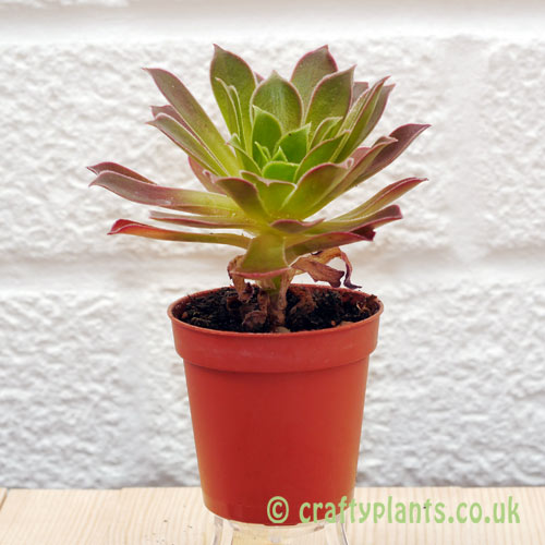 Aeonium Cornish Tribute from craftyplants