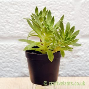 Aeonium Simsii from craftyplants