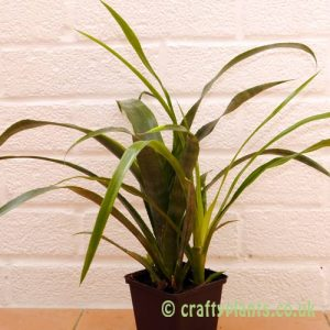 Bilbergia x Windii by craftyplants