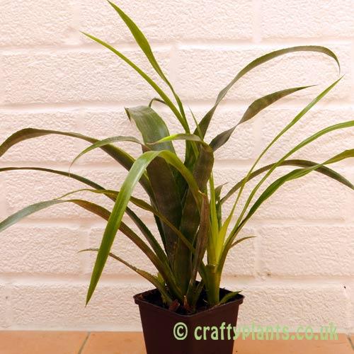 Bilbergia x Windii by craftyplants