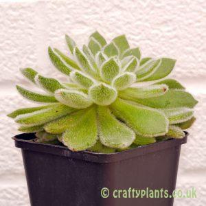 Echeveria Setosa var Diminuata from craftyplants