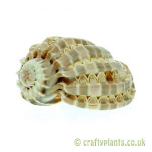 Harpa Harpa shell in shells at craftyplants.co.uk