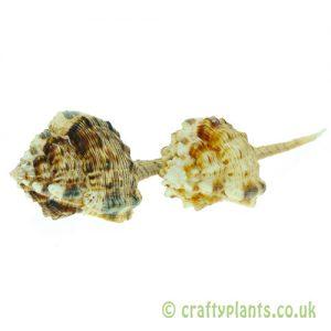 Murex Haustellum Shells in shells from craftyplants.co.uk