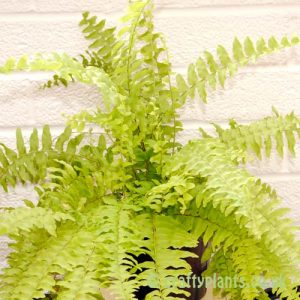 Nepurolepsis Exaltata Boston Fern large by craftyplants.co.uk