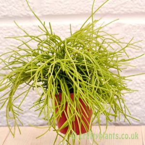 Rhipsalis Cassutha from craftyplants