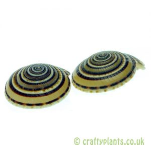 Sundial Shell Pack of 2 from craftyplants