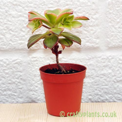 Aeonium Haworthii Variegata from Craftyplants.co.uk