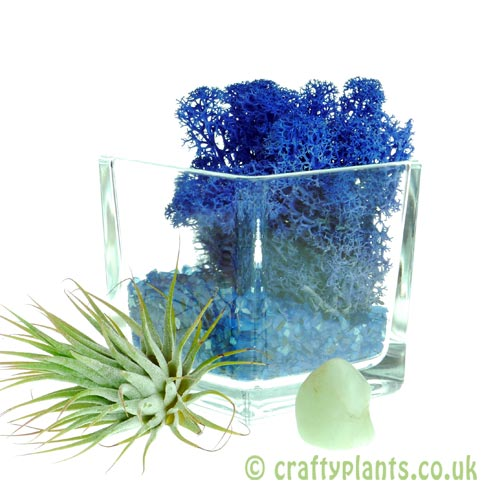 Elements Airplant Kit - WATER adding moss by craftyplants
