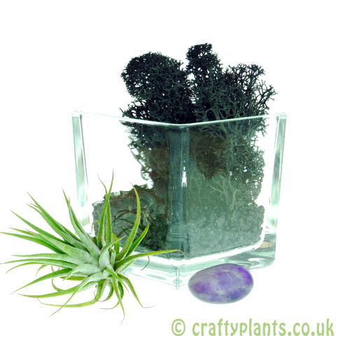 Elements Airplant Kit - AETHER adding moss by craftyplants
