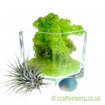 Elements Airplant Kit - EARTH added moss by craftyplants