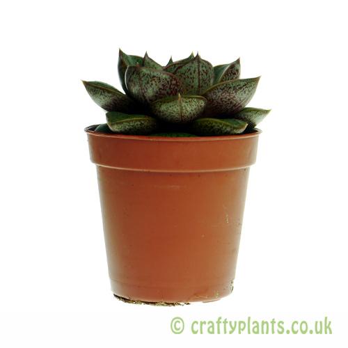 Echeveria purpusorum in a 5.5cm pot from craftyplants