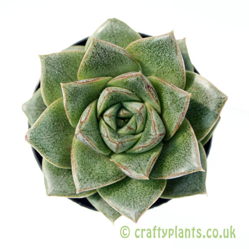 A top down view of Echeveria purpusorum from craftyplants