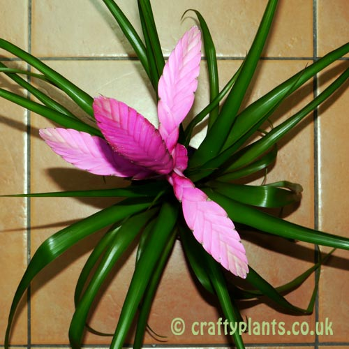 Tillandsia Alexander top view from craftyplants