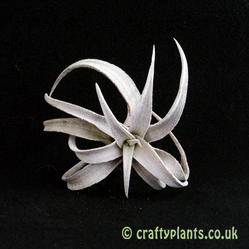 Tillandsia Chiapensis airplant from above from craftyplants.co.uk