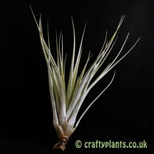 Tillandsia Compressa by craftyplants