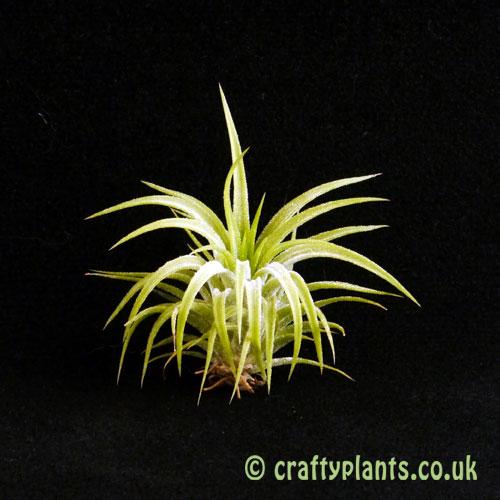 Tillandsia Ionantha 'druid' from craftyplants