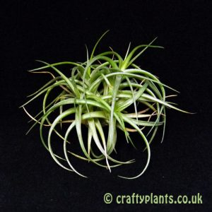 Tillandsia Bergeri Clump
