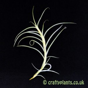 Tillandsia Crocata Giant from craftyplants