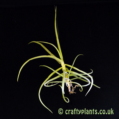 Tillandsia Duratii (small) by craftyplants