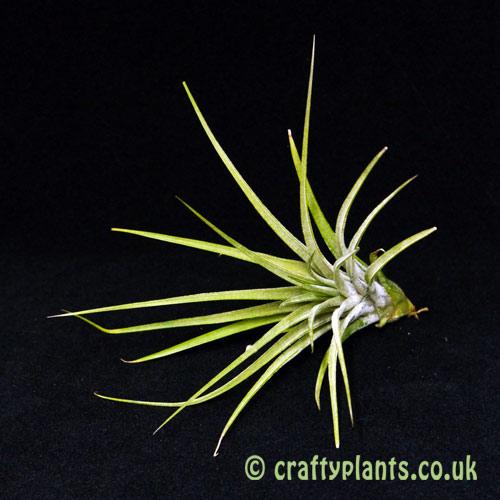 Tillandsia Ionantha x Schiedeana by craftyplants
