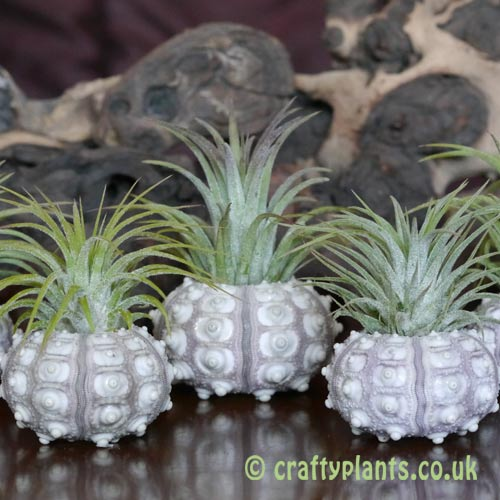 The Sputnik tripple airplant and urchin display from craftyplants.co.uk