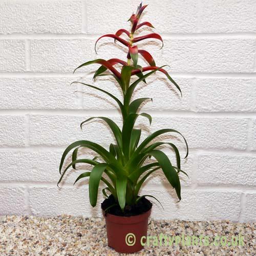 Tillandsia leiboldiana by craftyplants