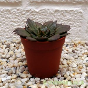 Echeveria Black Prince by craftyplants