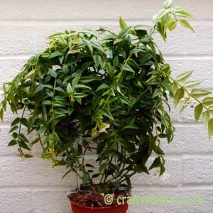 Hoya lanceolata ssp. bella from craftyplants