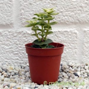Crassula Perforata Variegata from craftyplants