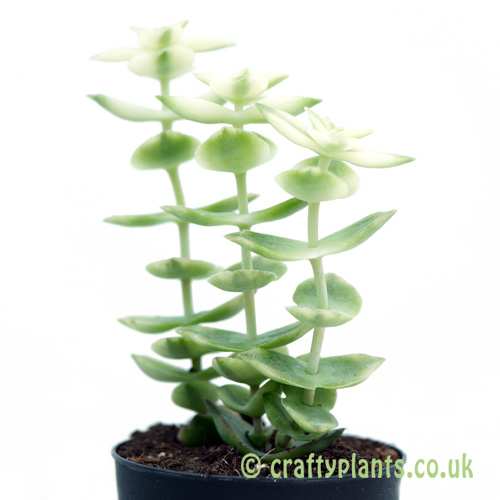The side profile of Crassula perforata variegata by craftyplants