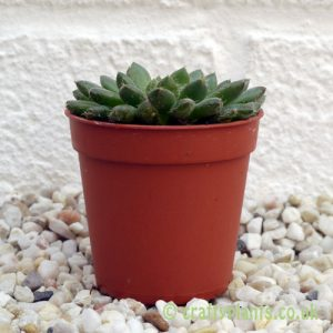 Echeveria Rondelli by craftyplants