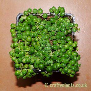 Senicio Rowleyanus by craftyplants.co.uk