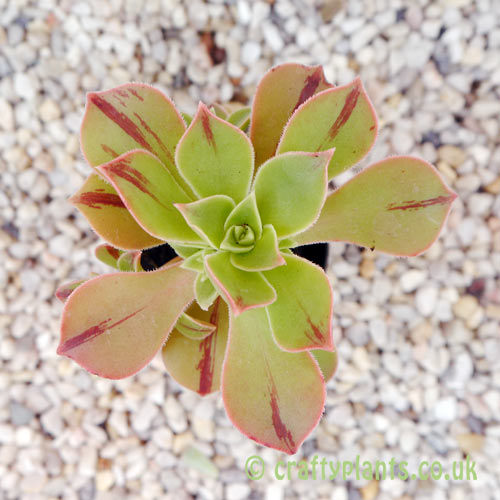 A top view of Aeonium Leucoblepharum from craftyplants.co.uk