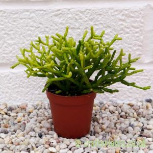 Rhipsalis Cereusculia from craftyplants.co.uk