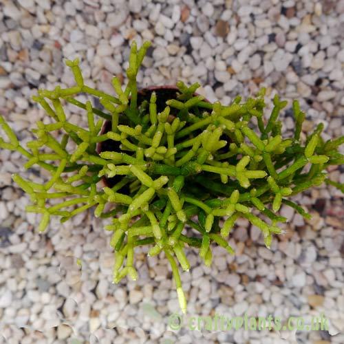 Rhipsalis Cereusculia top view by craftyplants.co.uk
