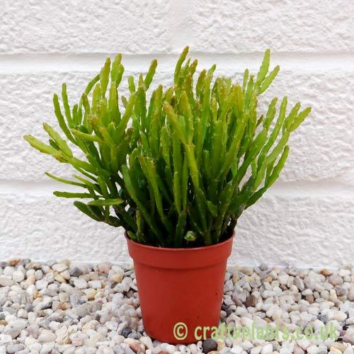 Rhipsalis ewaldiana by craftyplants