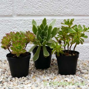 A three pack of Aeoniums by craftyplants