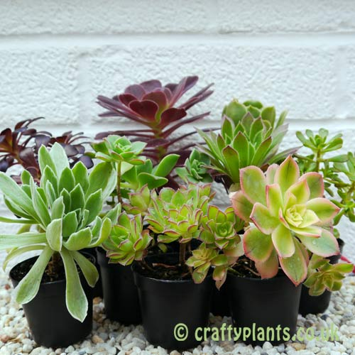 A mix of nine Aeoniums by craftyplants
