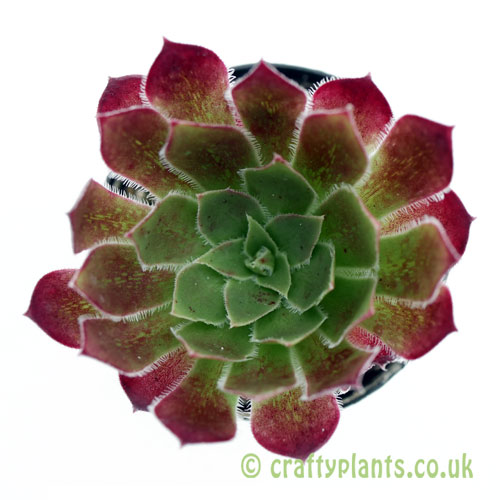 A top down view of Aeonium 'Black Magic' from craftyplants