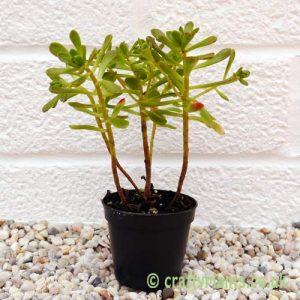 Aeonium sedifolium by craftyplants