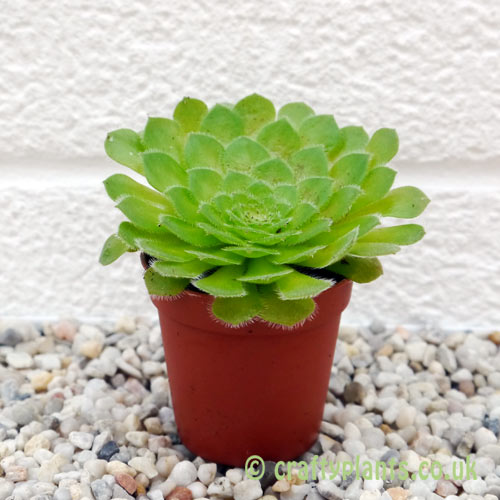 Aeonium tabuliforme from craftyplants