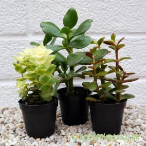 A mix of 3 Crassula by craftyplants