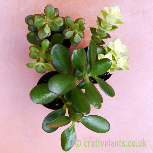 Crassula 3 pack seen from above by craftyplants