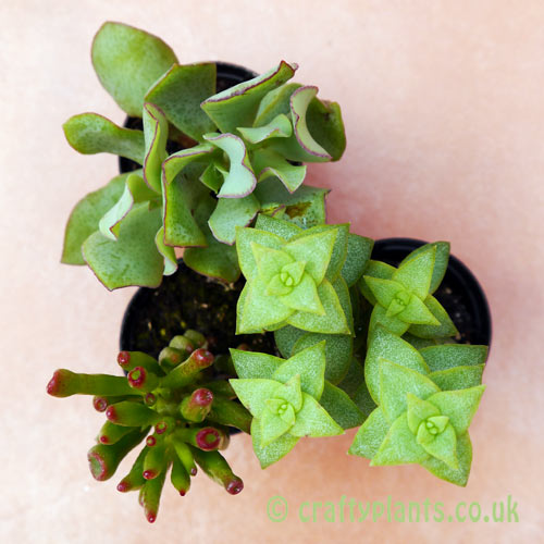 A mix of 3 Crassula seen from above by craftyplants